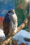 Peregrine Falcon, große schöne Karten, starker Falke, Raubvogel im wilden Lizenzfreies Stockbild