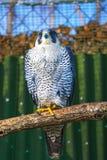 Peregrine Falcon, große schöne Karten, starker Falke, Raubvogel im wilden Lizenzfreie Stockbilder