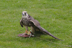 Peregrine Falcon on ground looking around. Falco peregrinus on lure on ground looking around Stock Images