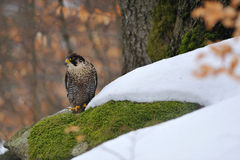 Peregrine Falcon sitting on ground in wood Royalty Free Stock Images