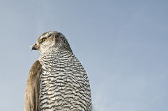 Peregrine falcon hawk Royalty Free Stock Images
