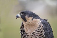 Peregrine Falcon Head e ombros Fotografia de Stock Royalty Free