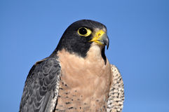 Peregrine falcon head Stock Image