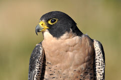 Peregrine falcon head Stock Photos