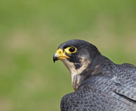 Peregrine Falcon head shot Royalty Free Stock Photos