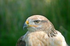 Peregrine Falcon head shot royalty free stock images