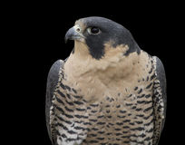 Peregrine Falcon Head and Shoulders Stock Image