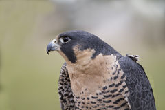 Peregrine Falcon Head and Shoulders Royalty Free Stock Photography
