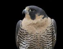Peregrine Falcon Head und Schultern Stockbild