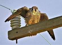 Peregrine Falcon high on a wire royalty free stock image