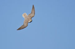 Peregrine Falcon Hunting on the Wing Royalty Free Stock Image