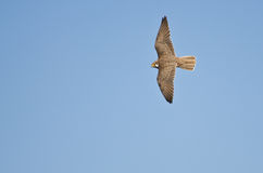 Peregrine Falcon Hunting on the Wing Stock Image