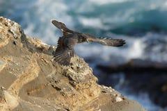 Peregrine Falcon Royalty Free Stock Photography