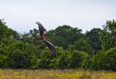 Free Peregrine Falcon In Flight 2 Stock Photography - 49930232