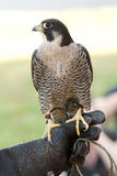 A Peregrine Falcon and its handler. Stock Photography