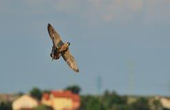 Peregrine Falcon jaagt een duif stock fotografie