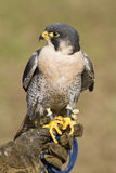 Peregrine Falcon in jesses stock image
