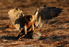 Peregrine falcon on kill Stock Photo
