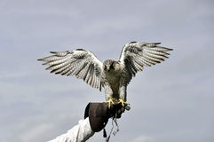 Peregrine falcon lands on the glove Royalty Free Stock Photos