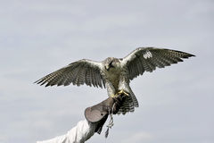 Peregrine falcon lands on the glove Stock Photo