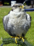 Peregrine falcon Stock Images