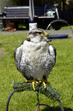 Peregrine falcon Latin name falco peregrinus. Perched on a stand Stock Photography