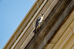 Peregrine Falcon on a Ledge. A Peregrine Falcon perches on a building ledge. These birds are known for nesting on urban buildings and can often be found in Stock Image