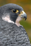 Peregrine Falcon Looks Over Back Royalty Free Stock Photo