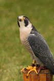 Peregrine Falcon Looks Way Up Royalty Free Stock Photography