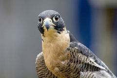 Peregrine Falcon after lunch, Tasmania, Australia Stock Image