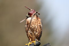 Peregrine Falcon med huven Royaltyfri Fotografi