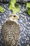 Peregrine, falcon, medieval bird, wildlife concept Royalty Free Stock Photos