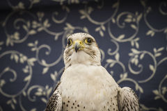 Peregrine, falcon, medieval bird, wildlife concept Stock Photo