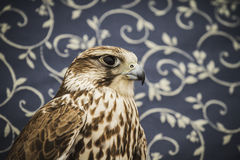 Peregrine, falcon, medieval bird, wildlife concept Royalty Free Stock Photography