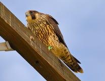Peregrine Falcon mit großen Augen stockfoto