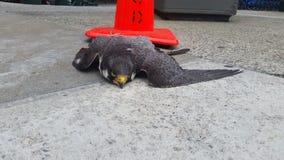 Peregrine Falcon muerta 1 Fotos de archivo libres de regalías