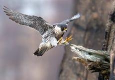 Peregrine Falcon nel New Jersey Immagine Stock