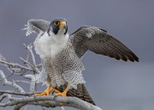 Peregrine Falcon. In New Jersey Stock Image