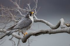 Peregrine Falcon. In New Jersey Royalty Free Stock Photos