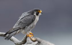 Peregrine Falcon in New Jersey. A Peregrine Falcon in New Jersey royalty free stock photos