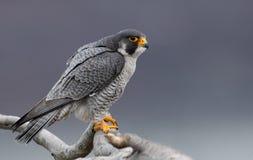 Peregrine Falcon in New-Jersey lizenzfreie stockfotos