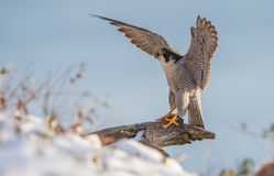 Peregrine Falcon. A peregrine falcon in New Jersey Stock Photography