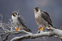 Peregrine Falcon in New Jersey. Peregrine Falcon Portrait in New Jersey royalty free stock photography