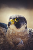 Peregrine falcon with open wings , bird of high speed Stock Image
