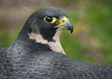 Peregrine Falcon Outstretched Wings Royalty Free Stock Images