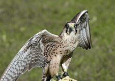 Peregrine Falcon with outstretched wings Royalty Free Stock Images
