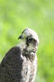 Peregrine Falcon på den gröna gräsmattan Royaltyfri Fotografi