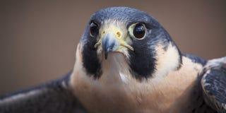 Peregrine Falcon Panoramic Fotos de archivo