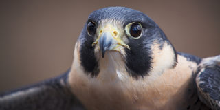 Peregrine Falcon Panoramic. A detailed close up panoramic portrait of a Peregrine Falcon Stock Photos