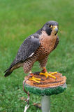 Peregrine Falcon on Perch Stock Images